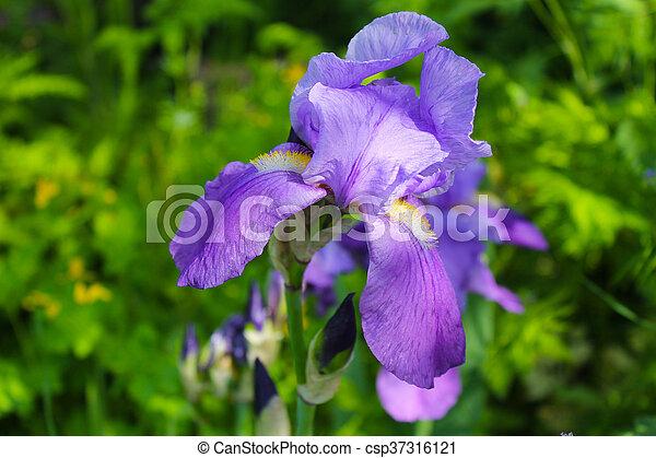 Iris in garden - csp37316121