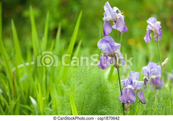 iris in wild garden - csp1870642