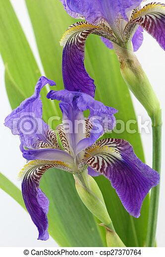 Iris Purpura Hojas Aislado Plano De Fondo Flores Blancas