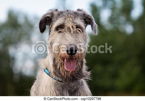 irish wolfhound dog head - csp10297798