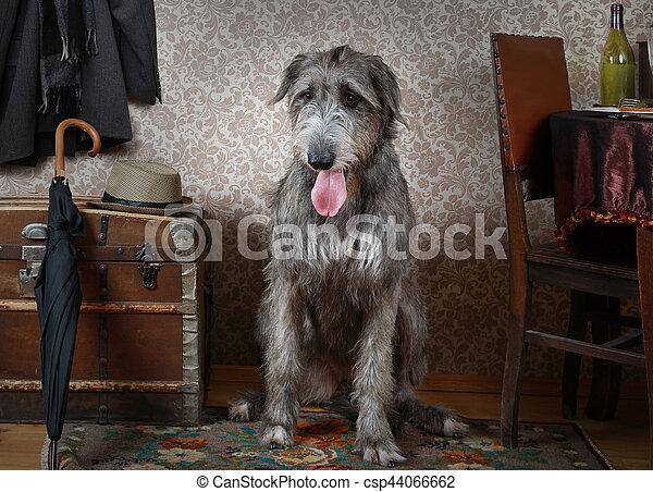 Irish wolfhound dog indoors - csp44066662