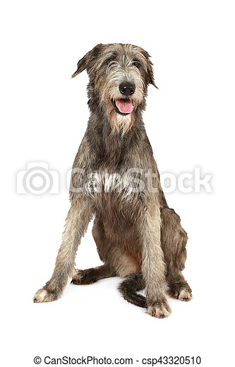 Irish wolfhound dog - csp43320510