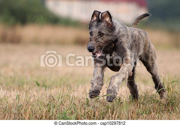 irish wolfhound dog run in field - csp10297812
