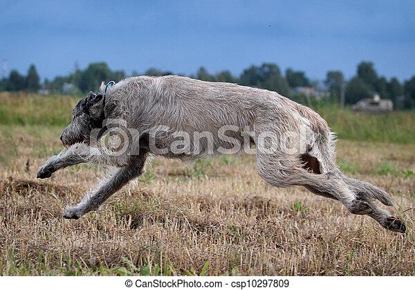 irish wolfhound dog run in field - csp10297809