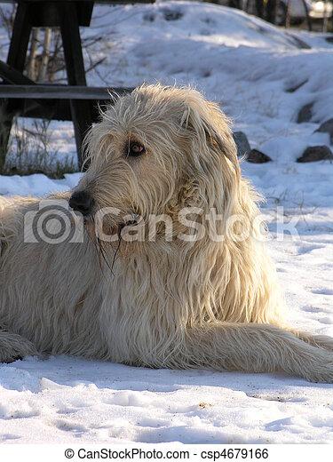 Irish Wolfhound - csp4679166