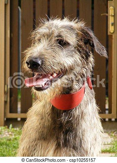Irish wolfhound - csp10255157