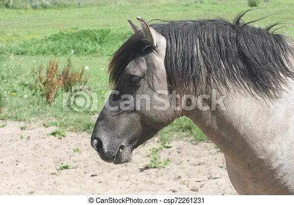 island, pferd, islandpferd - csp72261231