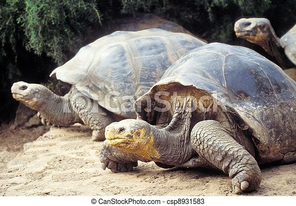 Tortuga gigante, islas Galápagos, ecuador - csp8931583