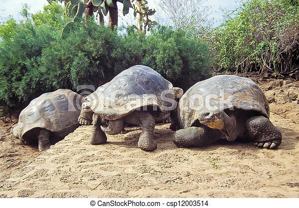 Tortuga gigante, islas Galápagos, ecuador - csp12003514