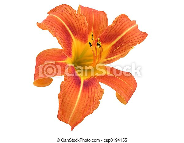 iso, orange, daylily - csp0194155