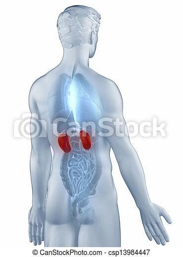Assez Photo de stock isolé, anatomie, postérieur, position, homme, rein  KZ85