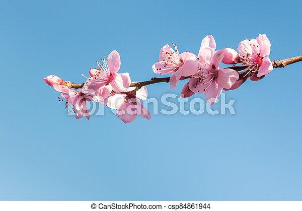 isolé, ciel bleu, contre, rose, copie, fleur, pêche, espace, fleurs, arbre - csp84861944