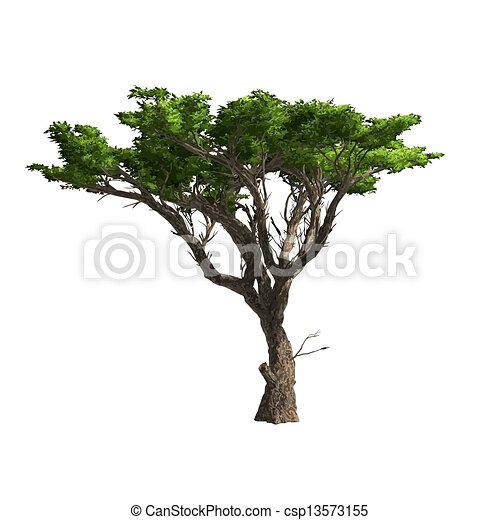 isolated., akát, vektor, strom, ilustrace - csp13573155