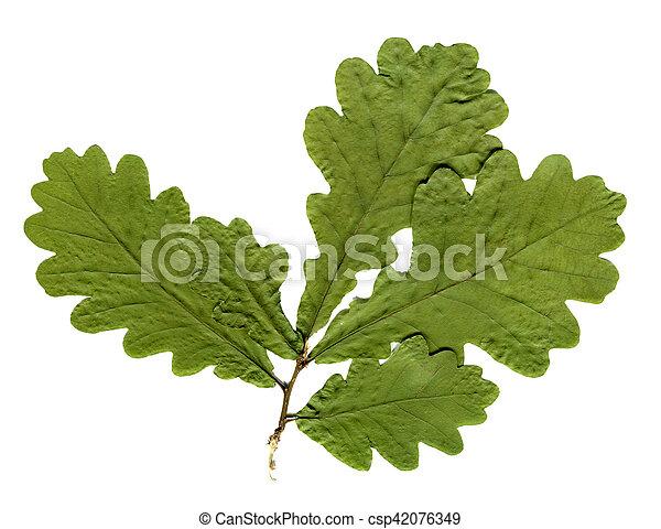 Herbarium Blätter isolated blätter eiche herbarium baum getrocknete