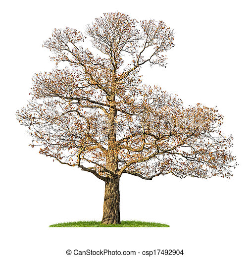 isolated chestnut tree in the winter - csp17492904
