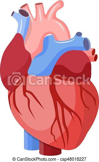 Isolated., corazón, anatómico. Corazón, estilo, centro, órgano ...