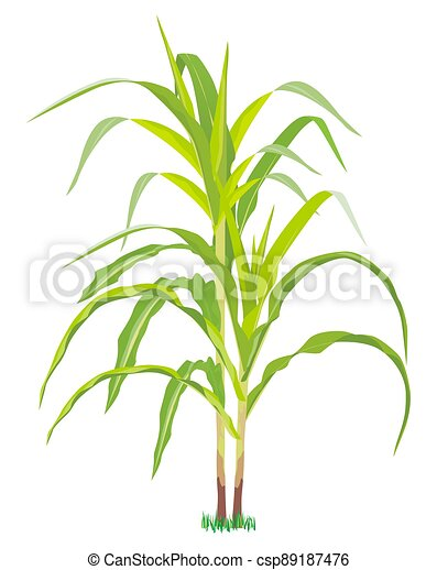 isolated corn plant on white background vector design - csp89187476
