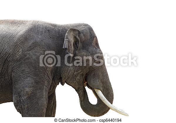 Isolated elephant on white background - csp6440194