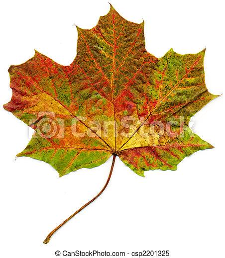 Isolated fall maple leaf. - csp2201325