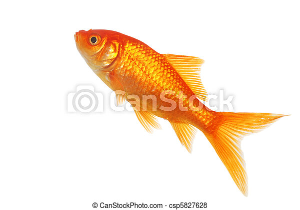 isolated gold fish - csp5827628