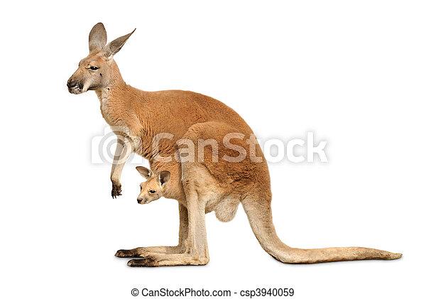 Isolated kangaroo with cute Joey - csp3940059