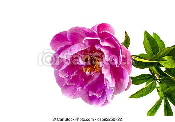 isolated on white background flowers peonies pink color - csp92258722