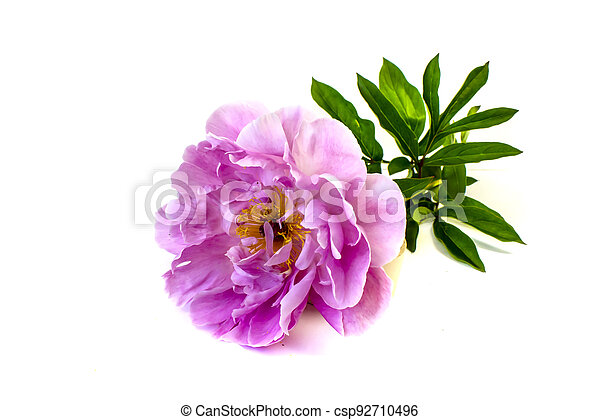 isolated on white background flowers peonies pink color - csp92710496