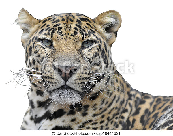 Isolated portrait of leopard - csp10444621