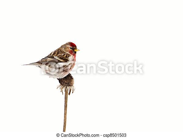 isolated., redpoll, mâle, commun - csp8501503