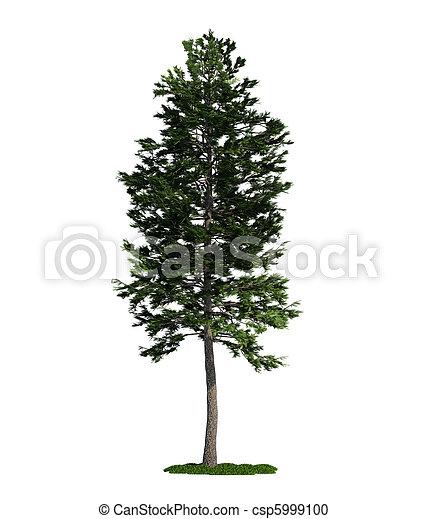 isolated tree on white, Scots Pine (Pinus sylvestris) - csp5999100
