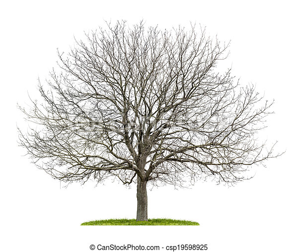 isolated walnut tree in the winter - csp19598925