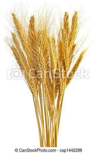 Isolated wheat ears - csp1442288