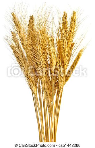 Isolated wheat ears - csp1442288