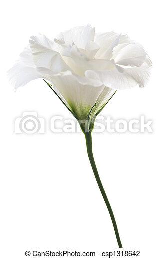Isolated white flower flower called prairie rose isolated on white isolated white flower csp1318642 mightylinksfo