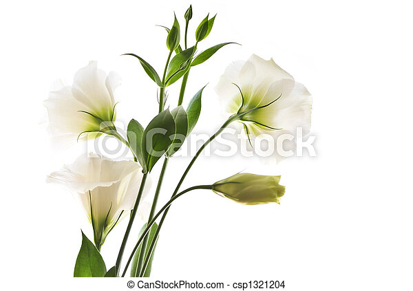 Isolated white flowers flowers called prairie rose isolated on isolated white flowers csp1321204 mightylinksfo