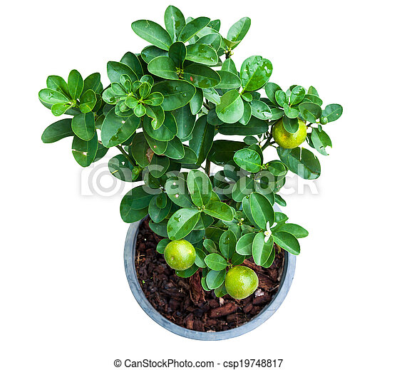Isolated young lemon tree in pot - csp19748817