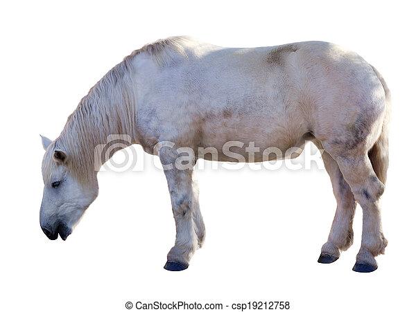 isolato, bianco, sopra, horse. - csp19212758