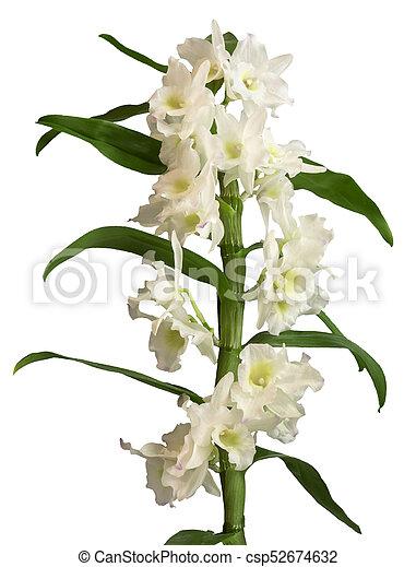 Fiori Orchidea Bianchi.Isolato Nobile Fiori Bianchi Dendrobium Orchidea Isolato