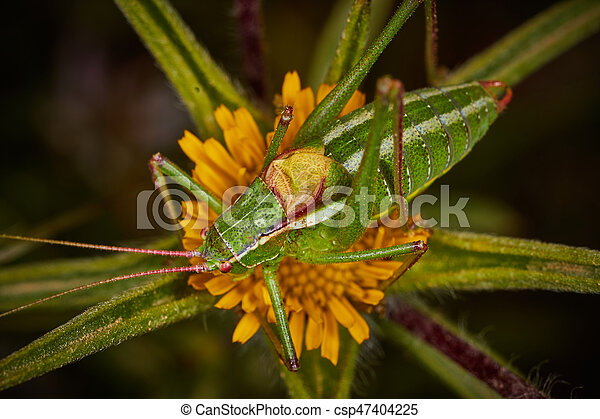 Isophya bush cricket - csp47404225