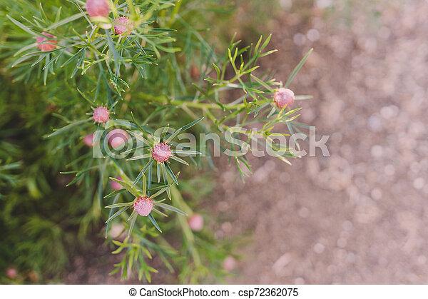 isopogon, buisson, détail, bonbon, cône - csp72362075