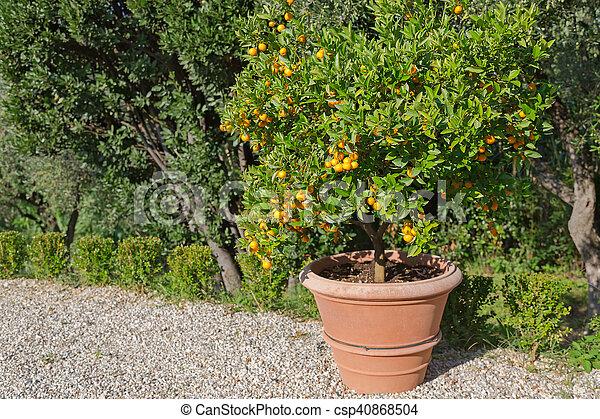 Boom In Pot Tuin.Italie Gekleurde Citrus Groot Pot Mandarijn Boom Fruit Zon Sinaasappel Sterke Tuin