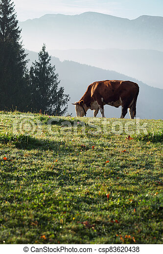 italian  cows on a pasture - csp83620438