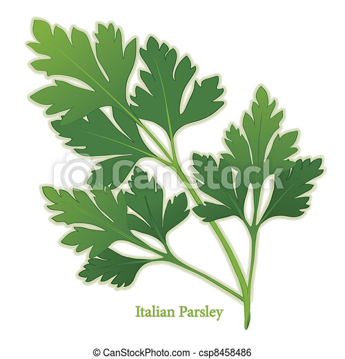 Italian Parsley Herb - csp8458486
