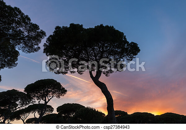 Italian sunset on the background of pines - csp27384943