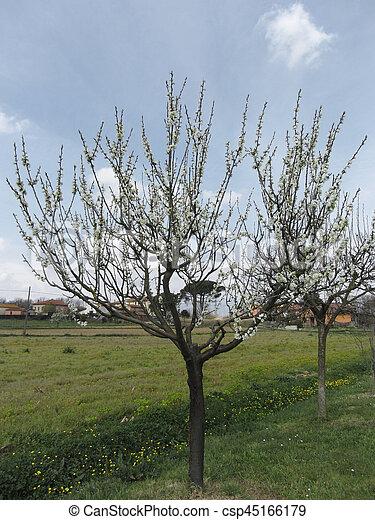 italie, jardin, arbre, floraison, poire, toscane