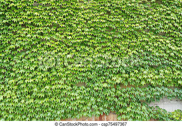 ivy green leaves growing on a wall - csp75497367