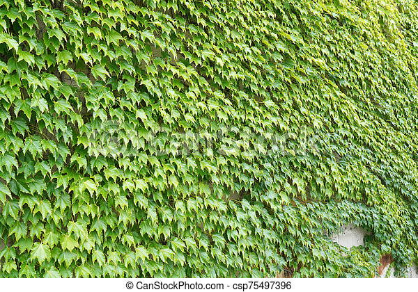 ivy green leaves growing on a wall - csp75497396