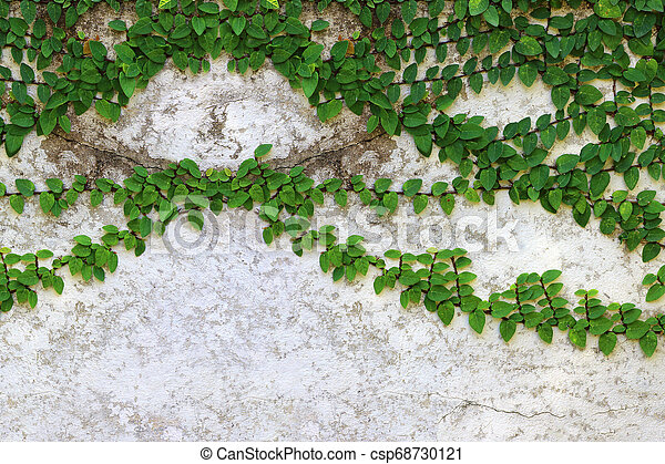 Ivy green with leaf on concrete white wall - csp68730121