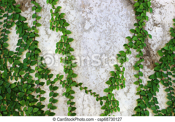 Ivy green with leaf on concrete white wall - csp68730127