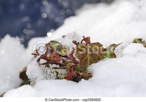 Ivy in the snow - csp3384820